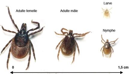les parasites du chien clinique veterinaire seine austreberthe alexandre fily. Black Bedroom Furniture Sets. Home Design Ideas